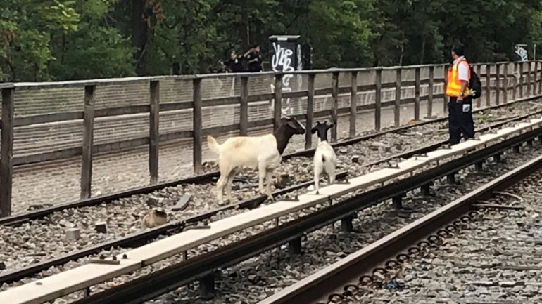 Goats on the tracks delayed subway trains in Brooklyn.